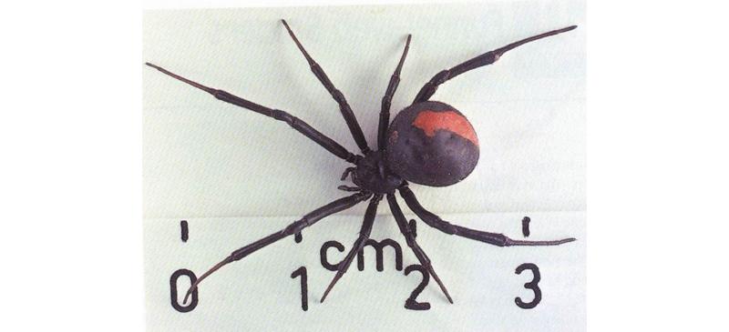 Доклад о пауке каракурте 468