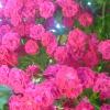 Шпалерные розы
