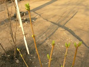 Наблюдение за развитием растения весной.